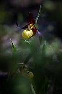 VIKEKÄRRET 2020<br /> Bilder från orkidéepromenad i Vikekärret på Rödön.<br /> Foto:Per Danielsson/Projekt.P