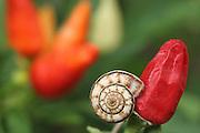white garden snail, Theba pisana, on a red pepper,