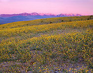 CADDV_036 - USA, California, Death Valley National Park, Field of desert sunflower blooms on the valley floor while sunrise reddens the Panamint Range.