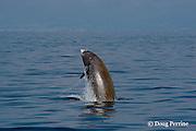 Cuvier's beaked whale, Ziphius cavirostris, male breaching, Ligurian Sea, Italy, Mediterranean Sea