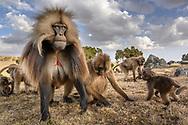 Eine Familiengruppe von Dscheladas oder Blutbrustpavianen (Theropithecus gelada) bei der täglichen Futtersuche, Simien Nationalpark, Debark, Region Amhara, Äthiopien<br /> <br /> A foraging family group of geladas or blood-breasted baboons (Theropithecus gelada), Simien National Park, Debark, Amhara region, Ethiopia