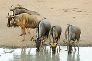 Blue wildebeest, Connochaetes taurinus taurinus, Limpopo, South Africa, drinking