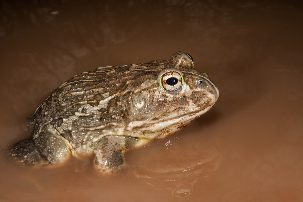 African bullfrog (Pyxicephalus edulis)<br /> Marataba, A section of the Marakele National Park, Waterberg Biosphere Reserve<br /> Limpopo Province<br /> SOUTH AFRICA<br /> HABITAT & RANGE: Seasonal shallow grassy pans and marshy areas in open savanna.African bullfrog (Pyxicephalus edulis)<br /> Marataba, A section of the Marakele National Park, Waterberg Biosphere Reserve<br /> Limpopo Province<br /> SOUTH AFRICA<br /> HABITAT & RANGE: Seasonal shallow grassy pans and marshy areas in open savanna.