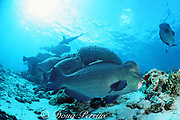 giant bumphead parrotfish, Bolbometopon muricatum,  queue up at coral head for services of a resident cleaner fish, Sipadan Island, Sabah, Borneo, Malaysia ( Celebes Sea, Western Pacific Ocean )