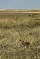 A lone Serval Cat hunting in the Masai Mara National Park, Kenya
