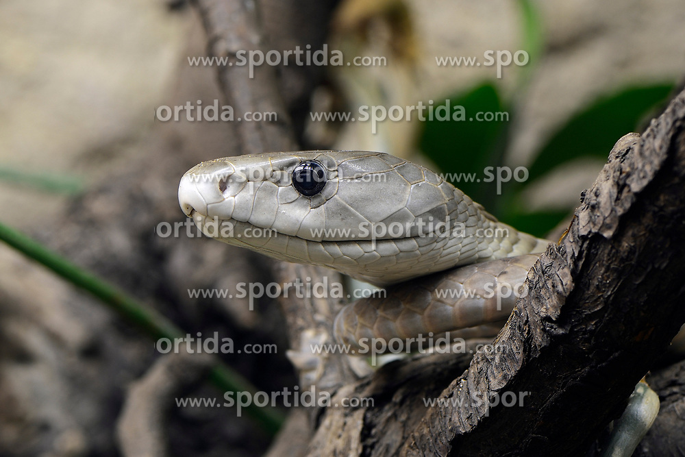 THEMENBILD - Schwarze Mamba (Dendroaspis polylepis), Giftschlange, capitve, Vorkommen in Afrika // Black Mamba (Dendroaspis polylepis), poison snake, captive, occurrence in Africa. EXPA Pictures © 2017, PhotoCredit: EXPA/ Eibner-Pressefoto/ Schulz<br /> <br /> *****ATTENTION - OUT of GER*****