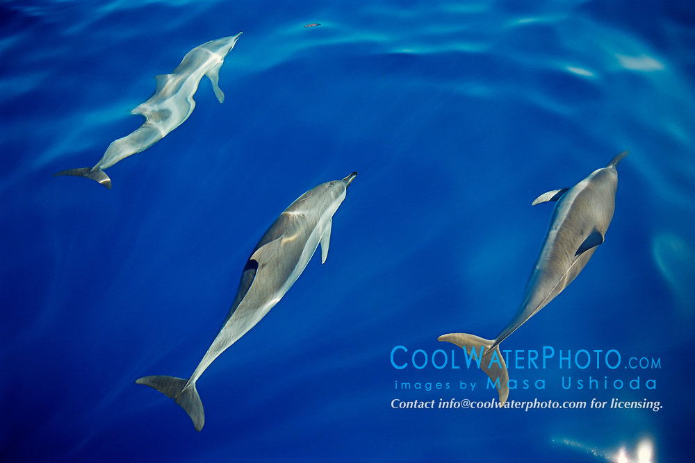 Long-snouted Spinner Dolphins bow-riding, Stenella longirostris, off Kona Coast, Big Island, Hawaii, Pacific Ocean