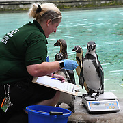 Penguins Annual weigh in at ZSL London Zoo on 23 August 2018, London, UK