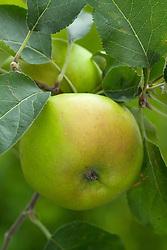 Apple 'Bramley Seedling'