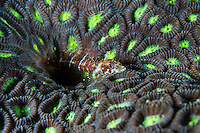 A Triplefin rests on a neon-polyped Star Coral<br /> <br /> Shot in Indonesia