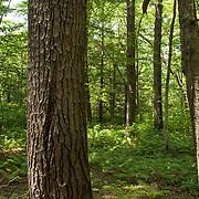 Summertime forest in Eastern, Massachusetts
