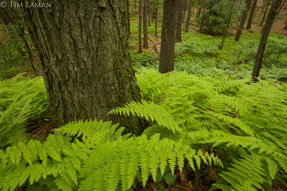 Fresh spring growth of ferns cover the ground in the forest by Walden Pond.  Spring views of Walden Pond.