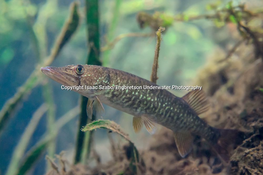 Redfin Pickerel,<br /> <br /> Isaac Szabo/Engbretson Underwater Photography