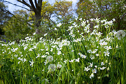Greater Stitchwort growing on a laneside. Stellaria holostea