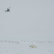 Capture helicopter hovers above darted polar bear. Beaufort Sea pack ice.