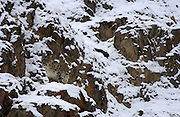 LADAKH, INDIA: Male snow leopard stands up on snow covered rocks in Hemis National Park.