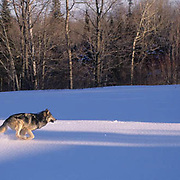 Gray Wolf, (Canis lupus) Adult in northern Minnesota. Winter. Captive Animal.
