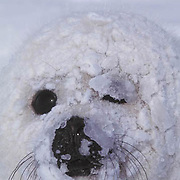 Harp Seal, (Pagophilus groenlandicus) Portrait of pup with ice crystals caked on face.
