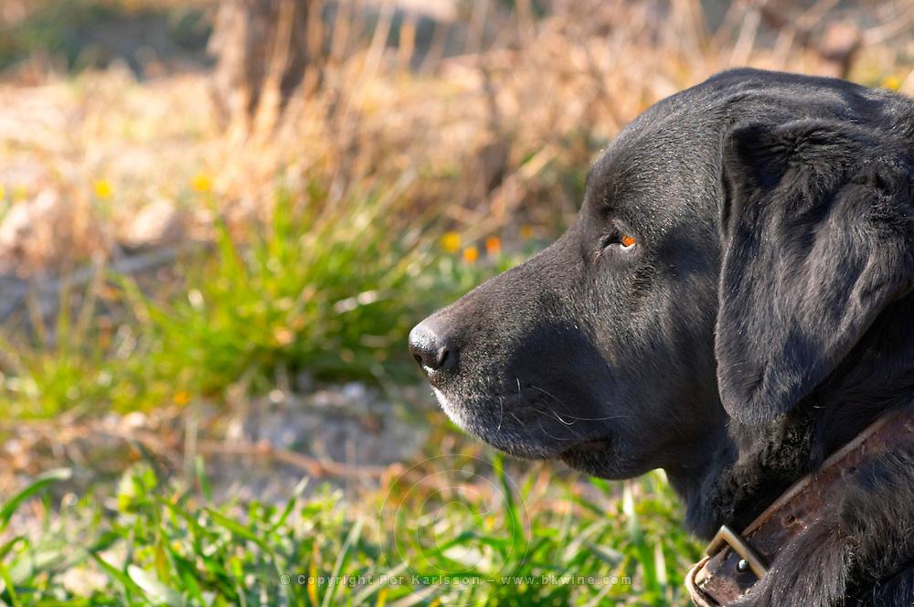 A black dog  at Mas de Gourgonnier, in Les Baux de Provence, Bouches du Rhone, France