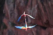 Bonito_MS, Brasil...A arara-vermelha (Ara chloropterus) em Bonito, Mato Grosso do Sul...Foto: JOAO MARCOS ROSA / NITRO