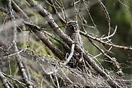 JÄMTLAND 2100622<br /> En ung lappuggla under en naturtur i skogarna utanför Östersund.<br /> Foto: Per Danielsson/Projekt.P