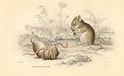 Harvest Mouse (Micromys minutus) of the Old World. [1828]. At 6 to 7 1/2 cm it is one of the smallest  rodents. From 'British Quadrupeds', W MacGillivray, (Edinburgh, 1828), one of the volumes in William Jardine's Naturalist's Library series. Hand-coloured engraving.