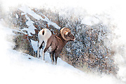 Artistic watercolor effects applied to a photograph of bighorn ram near Jackson Hole, WY.