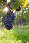Nebbiolo grapes grow on a vine in Barolo wine country, near La Morra, Italy