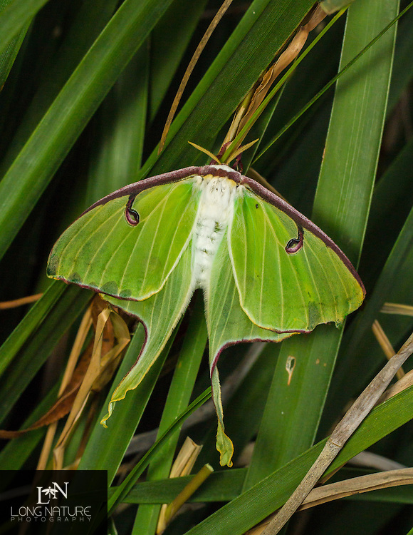 Female Luna moth -  (Actias luna).  Newly eclosed and emmitting to attract a male.