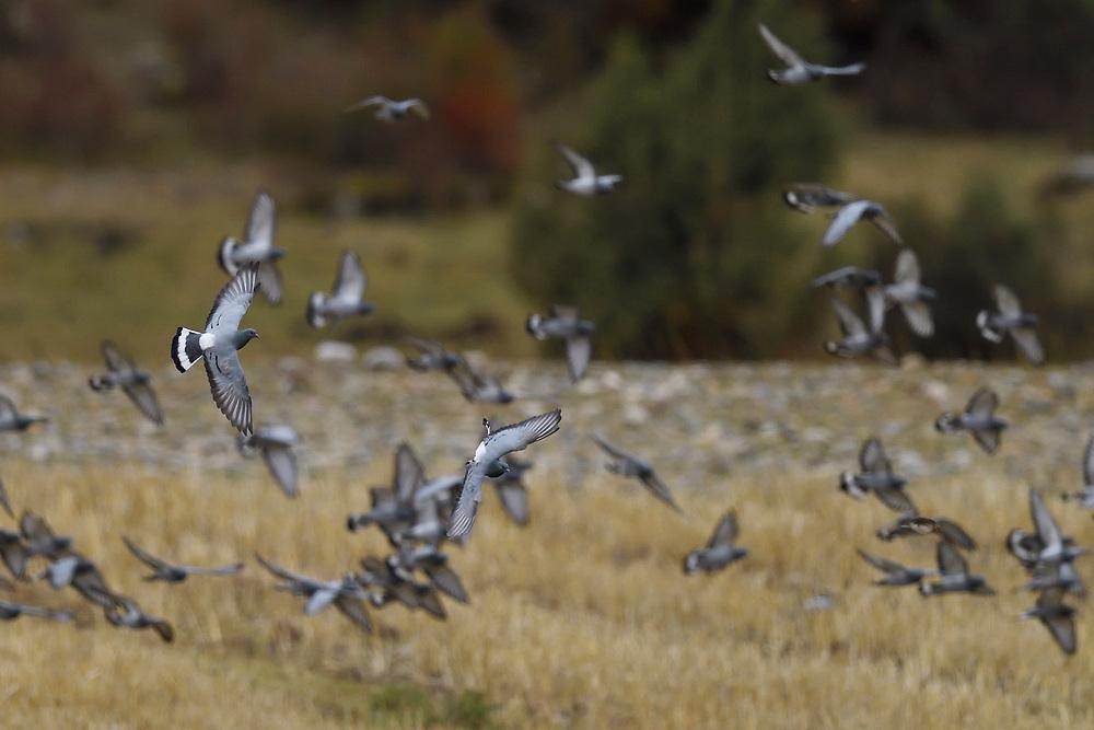 Hill pigeon or Eastern rock dove or Turkestan hill dove (Columba rupestris), flying over a field in Yushu, Tibetan Plateau, Qinghai, China