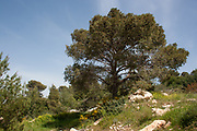 Pinus halepensis. Aleppo pine trees. Their origin is the Mediterreanean and Western Asia. In South Africa it is cultivated for shelter poles and for firewood,