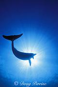 Atlantic spotted dolphin, Stenella frontalis, silhouette, Little Bahama Bank, Bahamas ( Western Atlantic Ocean )