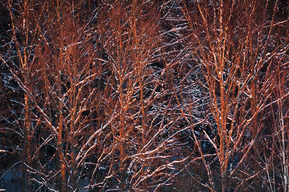Red sunset light falls over snowy branches of oak trees (Quercus robur), Gauja National Park (Gaujas Nacionālais parks), Latvia Ⓒ Davis Ulands | davisulands.com