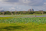 View of Yala National Park showing water tank with dead trees covered in water lilies with isolated rock in distance, Sri Lanka