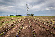 2014/11/20 – Monte Maiz, Argentina: Lines of soy plants grow on a field in the Monte Maiz region. Soy is usually seeded in the months of October/November and is harvested in March/April. (Eduardo Leal)