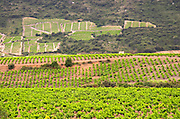 Vineyard. Mas Amiel, Maury, Roussillon, France