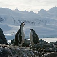 A fledgling Gentoo Penguin calls for its parent near Damoy Point on Wiencke Island, Antarctica. Behind is the Neumayer Channel and mountains on Anvers Island.