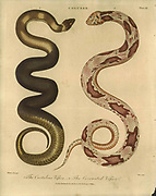The Crotaline Viper (Left) and the Coronated Viper Handcolored copperplate engraving From the Encyclopaedia Londinensis or, Universal dictionary of arts, sciences, and literature; Volume IV;  Edited by Wilkes, John. Published in London in 1810