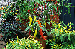 Chillies in pots at West Dean.  BJ114, Fireball, BJ112, Hot Banana, Purple Prince, Galkunda miris, Cayenne Purple, Rooster Spur.