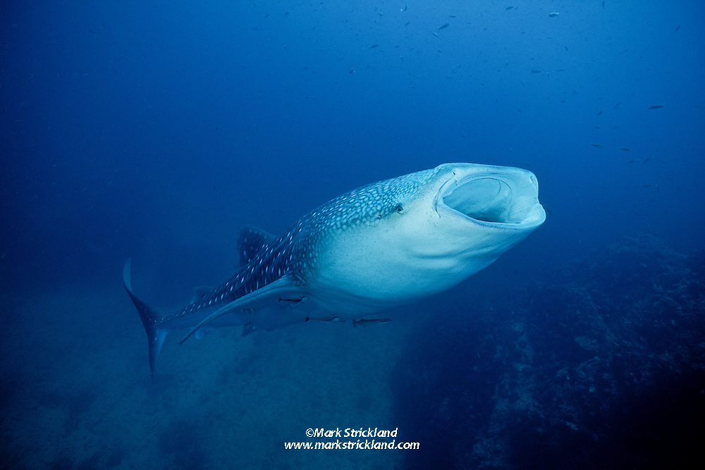 A Whale Shark, Rhincodon typus, opens wide to feed on plankton, jellies and small fish as huge volumes of water pass through its gill rakers, which act like strainers.  Richelieu Rock, Andaman Sea, Thailand.