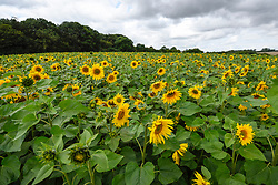 © Licensed to London News Pictures. 20/08/2019. ST ALBANS, UK.  Sunflowers on a dry day at Pop-Up Farm, a family run and family friendly farm that welcomes thousands of visitors each year at a series of pop-up farming festivals.  The forecast is for the temperatures to warm up ahead of the August Bank Holiday Weekend. Pop-Up Farm is the vision of Ian and Gillian Pigott who are passionate about farming, education and the environment. The Pigott family have been farming in Hertfordshire for many generations.  Photo credit: Stephen Chung/LNP