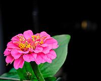 Pink Lilliput Zinnia Flower. AeroGarden Farm 04 Left. Fuji X-T3 camera and 80 mm f/2.8 OIS macro lens (ISO 320, 80 mm, f/11, 1/30 sec).