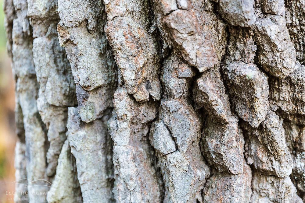 The bark of a blackgum (Nyssa sylvatica) tree in Barrington, New Hampshire. Near Stonehouse Pond.