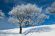 A striking, hoar frost covered tree at Rushup Edge in the Peak District. A winter scene completed by a blue sky and a blanket of snow. January 2013 in Derbyshire, England, UK.