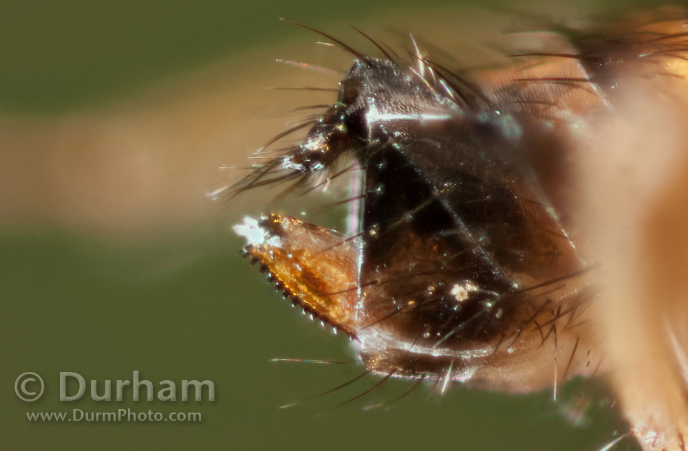 Detail of the unique, serrated ovipositor of a female Spotted Wing Fruit Fly (Drosophila suzukii). This allows the female to saw through the skin of ripening fruit and deposit an egg. © Michael Durham / www.DurmPhoto.com