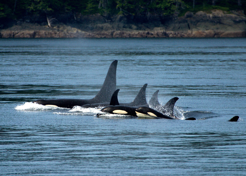 Alaska.  SE. A pod of Orca, Grampus orcinus.