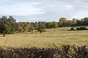 Sheep grazing in fields at Compton Bassett, Wiltshire, England, UK