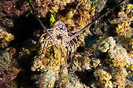 Caribbean Spiny Lobster, Palinuridae argus, Latreille, 1804, Grand Cayman