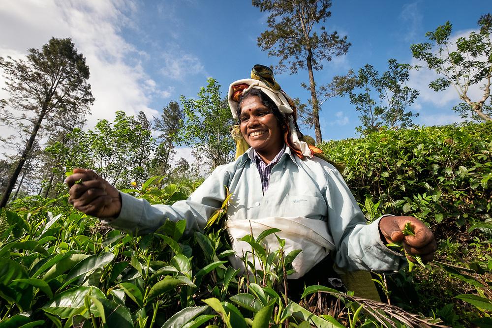 Hatton, Sri Lanka. Tea picker at work