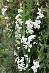Lathyrus latifolius. White Everlasting pea